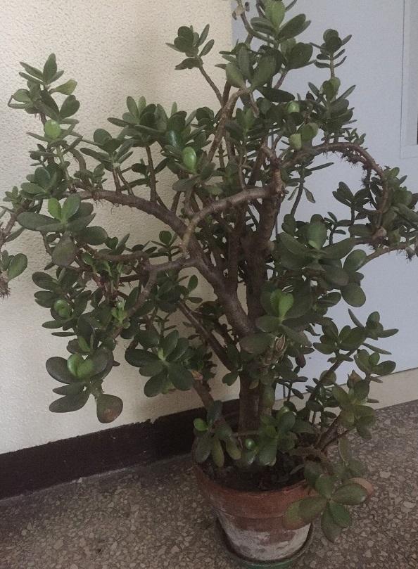 Crassula portulacea o albero di giada crassula portulacea for Piante ad alberello